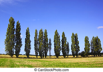 poplar trees - a line of poplar trees in a rural setting in...