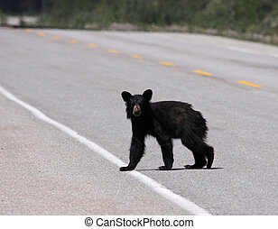 Young Black Bear Crossing the Road - A young black bear...