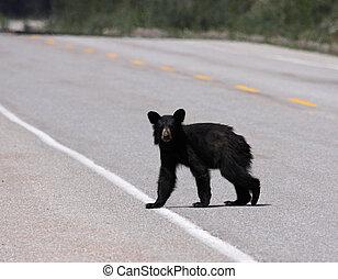 młody, czarnoskóry, Niedźwiedź, przejście,...
