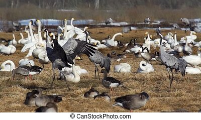 common crane at hornborgasj - sweden