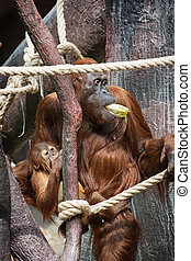 Female orangutan with a baby eating vegetables