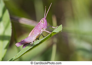 Pink Grasshopper perched on a leaf closeup