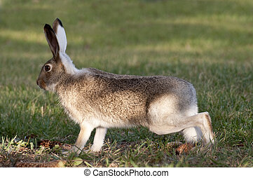 Wild Rabbit On High Alert - Wild rabbit on high alert in a...