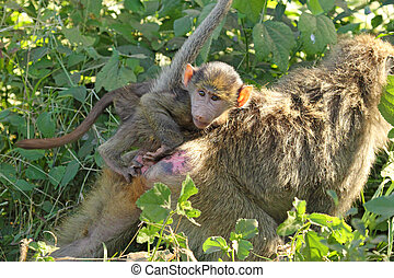Baby baboon on the back of his mother - A baby olive baboon,...