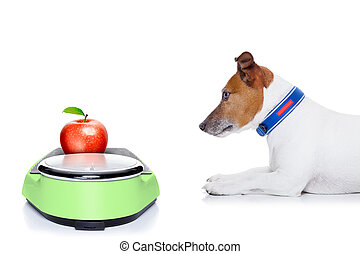 diet dog - dog waiting to start eating healthy apple, for...