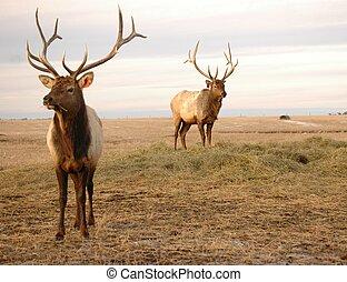 Elk - Bull elk in pasture