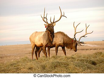 Bull Elk - Two bull elk wapiti grazing as on cold fallwinter...