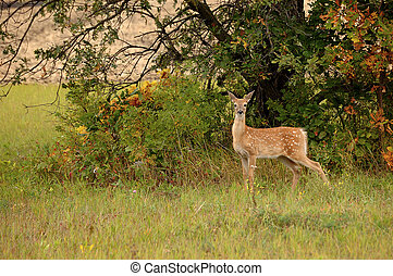 White Tail Fawn - Young white tail deer fawn at edge of...
