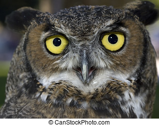 Close up of great horned owl.