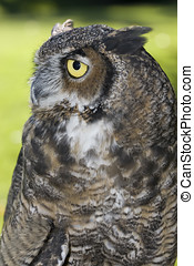 Side view of Great Horned Owl.