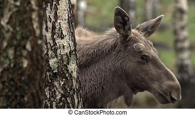 moose in sweden - springtime