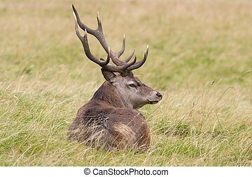 Red deer  Cervus elaphus