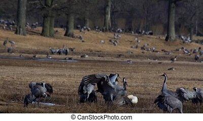 common crane at hornborgasj? - sweden