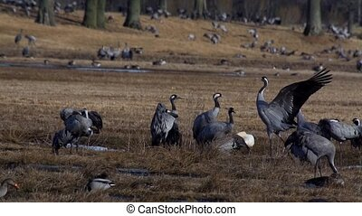 common crane at hornborgasj? - sweden
