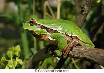 green frog Hyla arborea - green frog in the bush in the...