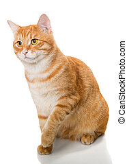 Beautiful orange cat, isolated on a white background