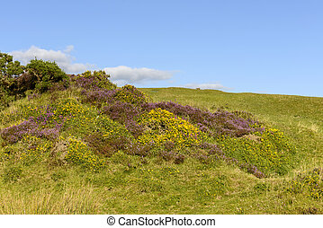 heather and yellow flowers in the moor, Dartmoor