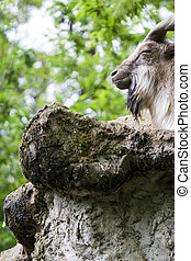 Markhor resting on a rock