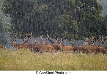 Red deer Cervus elaphus in heavy rain