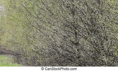 branches of trees with leaves hatched swaying in the wind in...