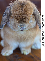 Holland lop rabbit sitting on wood floor