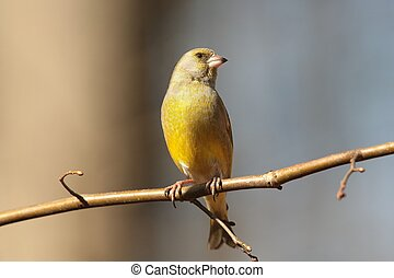 Greenfinch - Male Greenfinch - Carduelis chloris - on a...