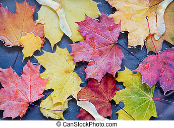 maple leaves in a puddle - yellow and red maple leaves in a...