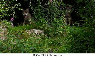 wolf in summer