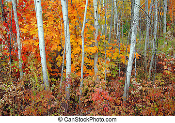 Aspen Grove and Maples in Autumn - Grove of aspen trees and...