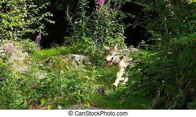lobo, en, verano,