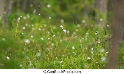 cotton grass- genus Eriophorum