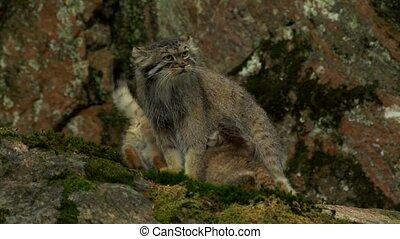 Manul - wild cat