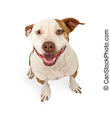 Happy and Friendly Pit Bull - A cute pit bull terrier with a...