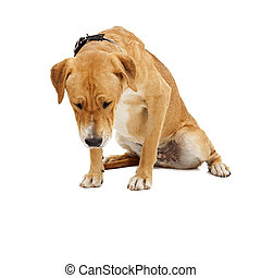 Labrador Dog Looking Down - A large Labrador crossbreed dog...