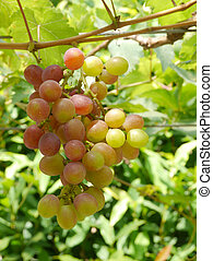 bunches  grapes hang from a vine