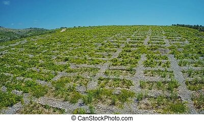 Primosten Vineyards, drystone walls - Aerial view of old...