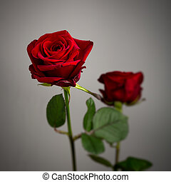 Two red roses against a grey background - Two red valentine...