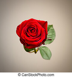 Single Beautiful Red Rose Against Grey - Beautiful single...