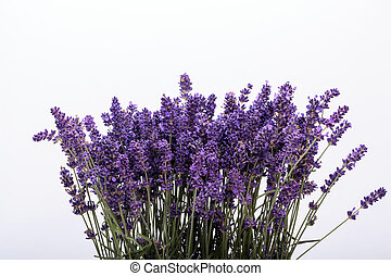 Lavender isolated on white background. - Lavender isolated...