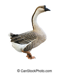 White goose - Gray domestic goose isolated over white...