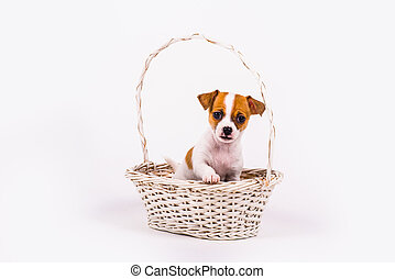 begging chihuahua puppy in a white basket with white...
