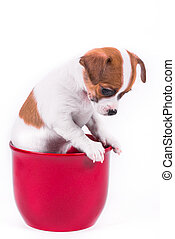 cute chihuahua puppy looking down sitting in a red pot in...