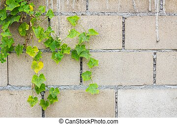 Hollow brick wall with green lvy Gourd