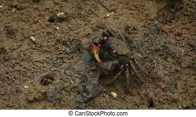 Crab eating - Red-clawed crab - Sesarma bidens in mud