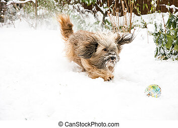 Tibetan Terrier Dog Catching Ball in Snow - Dog agility -...
