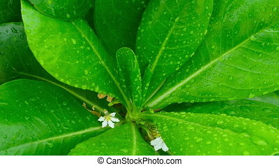 After rain. - The leaves of a tropical plant with rain drops