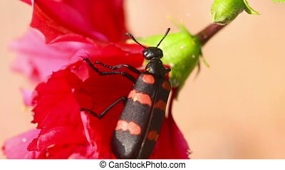Beetle - Red and black beetle eat flower of Hibiscus