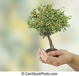 Orange tree in hands