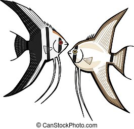 Angelfishes - vector drawing two kinds of freshwater...