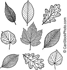 Set of leaves - Set of Vector linden, oak, nut, plane tree,...